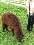 alpaca4