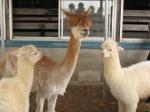 alpaca6