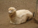 alpaca7